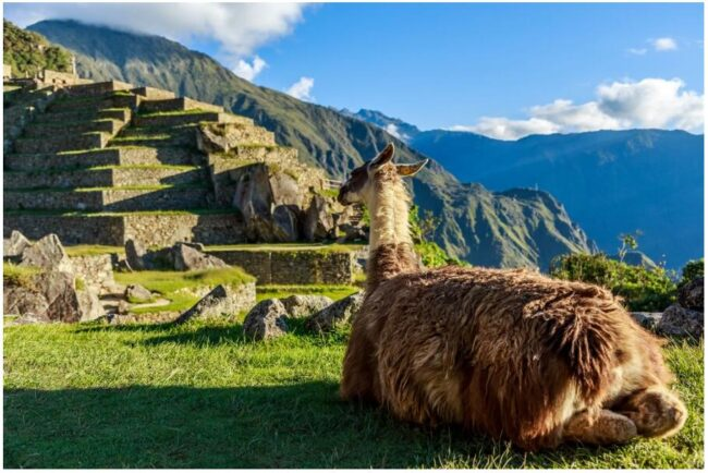 Llama in front of the Machu Picchu terraces